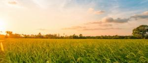 The new breakthrough from Cardiff University's Cardiff Catalysis Institute shows that significant amounts of hydrogen can be extracted from fescue grass, using sunlight and a cheap catalyst.
